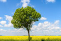 Green Tree In Yellow Rapeseed Flowers Field Royalty Free Stock Photo
