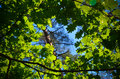 The green trees top in forest, blue sky and sun beams shining through leaves. Bottom view. Royalty Free Stock Photo