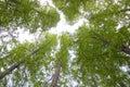 Green trees upwards Royalty Free Stock Photo