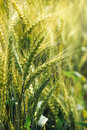 Green triticale ears, hybrid of wheat and rye in field Royalty Free Stock Photo