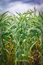 Green `Triticale` wheat ears Royalty Free Stock Photo