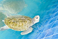 Green turtle. Royalty Free Stock Photo