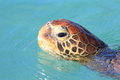 Green turtle chelonia mydas in japan Stock Photography
