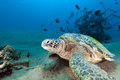 Green turtle (chelonia mydas) in the Red Sea. Stock Image
