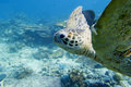 A green turtle close up portrait in sipadan borneo malaysia Stock Photography