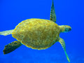 Green turtle ii swimming in a blue ocean chelonia mydas curacao Royalty Free Stock Image