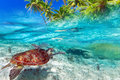 Green turtle swimming in caribbean sea at tropical island of Stock Photos