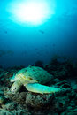 Green turtle under the sun beam in sipadan island dive malaysia Stock Photo