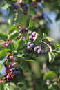 Green twig of irga with ripe berries Stock Images