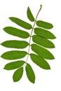 Green twig of rowan tree Royalty Free Stock Photo