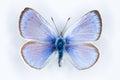 Green-underside Blue, Glaucopsyche alexis butterflies Royalty Free Stock Photo