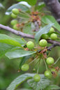 Green unripe cherries on a branch pic of Royalty Free Stock Photo