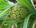 Green Unripe Fruit of Pandanus Odorifer - Kewda or Umbrella Tree - Pine - Tropical Plant of Andaman Nicobar Islands Royalty Free Stock Photo