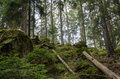 Green untouched forest old and mossy spruce Royalty Free Stock Photography