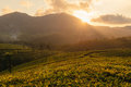 Green valleys of mountain tea plantations at sunset in Munnar Royalty Free Stock Photo
