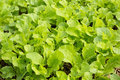 Green vegetable farm lettuce lettuce fresh Royalty Free Stock Photos