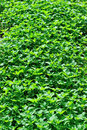 Green vegetable field with many vegetables Stock Photography