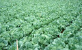 Green vegetable field Royalty Free Stock Photo