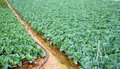 Green vegetable field in rows Royalty Free Stock Photo