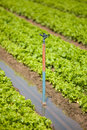 A green vegetable garden being irrigated Royalty Free Stock Images