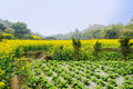 Green vegetables and yellow rape flowers in sunny spirng spring chengdu china Stock Photo