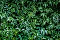 Green vegetative wall Royalty Free Stock Photo