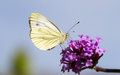 A green veined butterfly on purple flower Royalty Free Stock Photo
