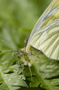 Green-veined White Butterfly Stock Image