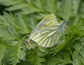 Green-veined White butterfly mating Stock Photo