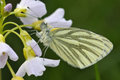 Green veined white butterfly pieris napi underside resting on cuckoo flower or lady s smock cardamine pratensis Royalty Free Stock Images