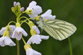 Green veined white butterfly pieris napi underside resting on cuckoo flower or lady s smock cardamine pratensis Stock Photos