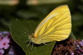 Green veined white butterfly view of an female profile view Royalty Free Stock Images