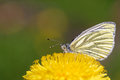Green veined white pieris napi butterfly on dandelion flower Royalty Free Stock Images