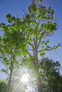 Green vibrant backlit tree Royalty Free Stock Photography