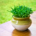 Green vibrant grass in the pot close up Stock Photography