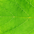 Green vibrant leaf texture Royalty Free Stock Photography