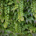Green vine climbing on a wall Stock Image
