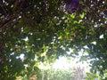 Green Vine jasmine over hang