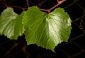 Green vine leaf Royalty Free Stock Photo