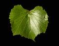 A green vine leaf Royalty Free Stock Photo