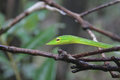 Green Vine snake on branches Royalty Free Stock Photo