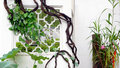 Green vines wrapped around the window Royalty Free Stock Photos