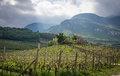 green vineyard landscape in spring time. south tyrol, italy Royalty Free Stock Photo