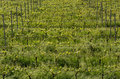 green vineyard landscape in spring time. Royalty Free Stock Photo