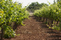 Green vineyard on mallorca spain Royalty Free Stock Image