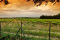 Green vineyard orange sky over Royalty Free Stock Photos