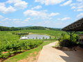 Green vineyard and pond grapevines at a north georgia usa Royalty Free Stock Photos