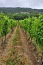 Green vineyard of south moravia in summer wine production in czech republic Royalty Free Stock Image