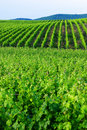 Green vineyards Royalty Free Stock Photos