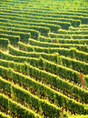Green vineyards Stock Photography